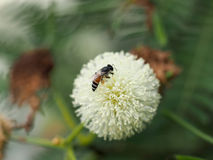 Цветок пчелы и Leucaena Стоковое Изображение