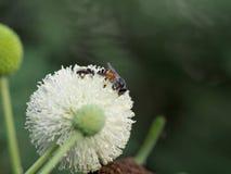Цветок пчелы и Leucaena Стоковое фото RF
