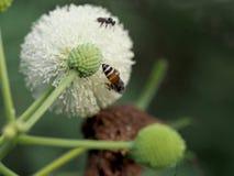 Цветок пчелы и Leucaena Стоковые Изображения RF