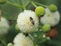 Цветок пчелы и Leucaena Стоковые Изображения