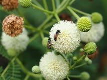 Цветок пчелы и Leucaena Стоковые Фотографии RF
