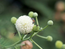 Цветок пчелы и Leucaena Стоковое Фото