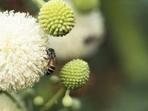 Цветок пчелы и Leucaena Стоковые Фото