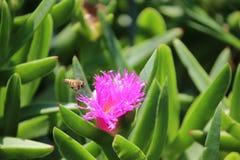 цветок пчелы к Стоковое Изображение