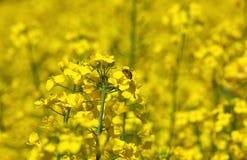 Цветок пчелы опыляя рапса, красивого сочного поля Стоковые Фотографии RF