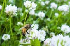 Цветок пчелы собирая белизну цветня зеленую Стоковые Изображения