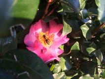 Цветок 3 пчелы Стоковые Фотографии RF