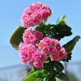 Цветок пылать Katy стоковое фото