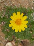 цветок пышный Стоковые Изображения RF
