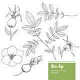 Цветок плода шиповника, бутон, ветвь, комплект иллюстрации лета природы вектора эскиза лист органической нарисованный рукой Стоковое Изображение RF