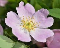 Цветок плода шиповника Стоковые Изображения