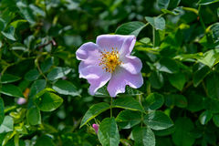 Цветок плода шиповника Стоковая Фотография