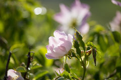 Цветок плода шиповника Стоковое фото RF
