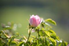 Цветок плода шиповника Стоковые Фото