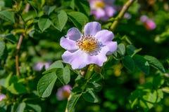 Цветок плода шиповника Стоковая Фотография RF