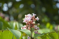Цветок плодоовощ звезды стоковая фотография rf