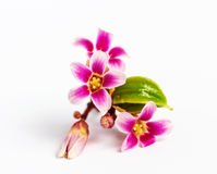 Цветок плодоовощ яблока звезды Стоковые Фотографии RF