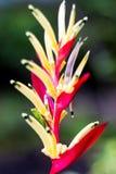 Цветок райской птицы конца-вверх красочный Стоковые Фотографии RF