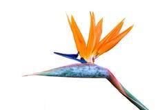 Цветок райской птицы Стоковые Фотографии RF