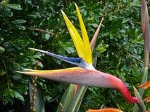 Цветок райской птицы стоковое изображение rf