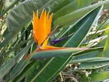 Цветок райской птицы, Strelitziaceae Стоковое фото RF
