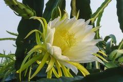 Цветок дракона в солнечном свете Стоковое Изображение RF