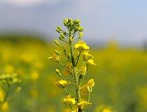 Цветок рапса на запачканной предпосылке поля рапса Плантация завода масла Продукция биотоплива Аграрное дело Стоковые Фото