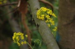 Цветок рапса под деревом стоковые фото