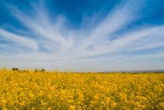 Цветок рапса Стоковое Изображение RF