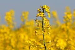 Цветок рапса Стоковые Фото