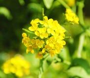 Цветок рапса Стоковое Фото