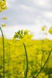 Цветок рапса Стоковое фото RF