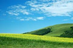 Цветок рапса Стоковая Фотография RF