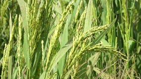 Цветок риса на поле сток-видео