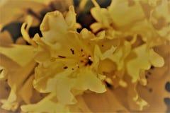 Цветок рододендрона полного цветения мягкий желтый - графическое изображение Стоковая Фотография RF