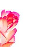 цветок рождества кактуса Стоковая Фотография