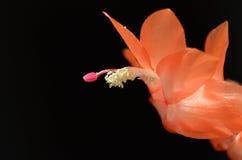 Цветок рождества Стоковое Изображение RF