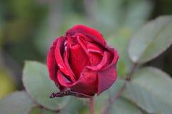 Цветок, Роза, природа, сады, розовые на falltime стоковые фотографии rf