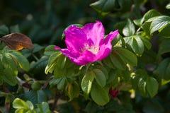 Цветок розового бедра стоковые фотографии rf