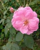 Цветок розового пинка на моем саде Стоковое Изображение