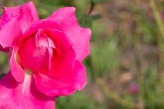 Цветок розового пинка Стоковые Изображения