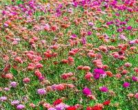 Цветок розового японца розовый Стоковое фото RF