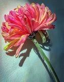 Цветок розовой и желтой хризантемы мамы паука Фудзи одиночный с sunlite и тенью Стоковое Фото