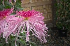 Цветок розовой хризантемы паука японский в саде Стоковое Изображение RF