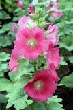 Цветок розов Стоковые Фото