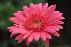 Цветок розов Стоковая Фотография