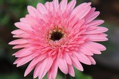 Цветок розов Стоковые Изображения
