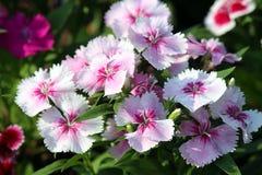 Цветок розов Стоковая Фотография RF