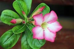 Цветок розов Стоковое Изображение RF