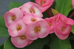 Цветок розов Стоковое Изображение